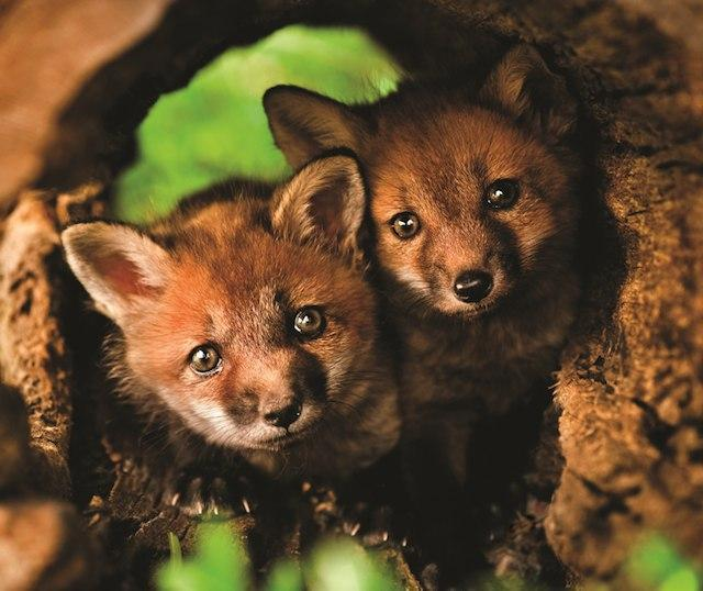 лиса милота Живность Красивые картинки рыжая лиса животные милые