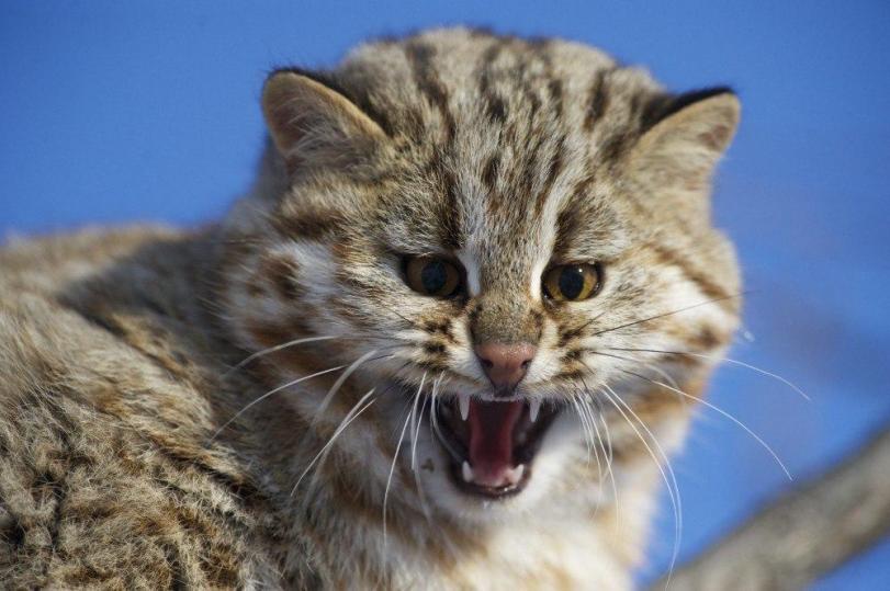 Фото Красивые картинки Живность Котэ лесной кот